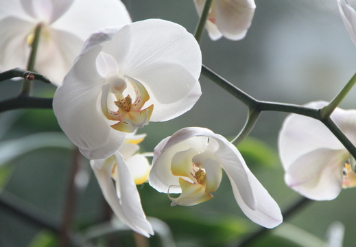 orchid-4780