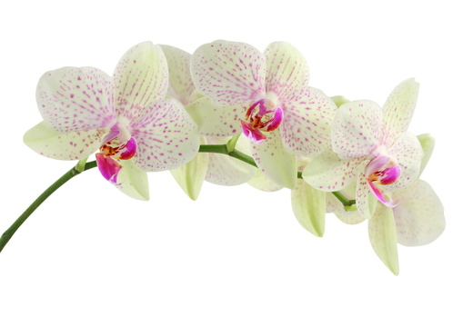 orchid-622485