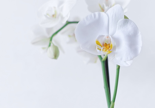 orchid-4720841